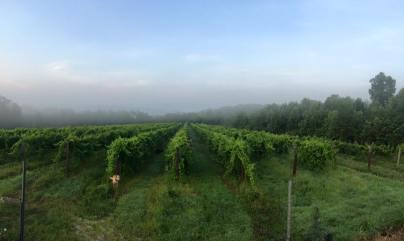 Vineyard2015